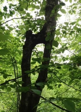 copacul vagin