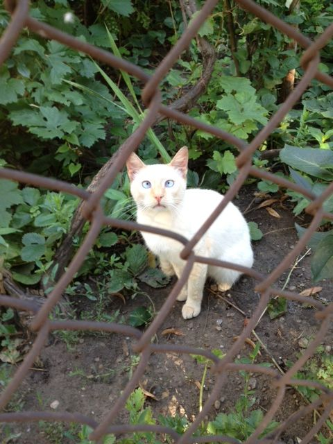 pisica sasie